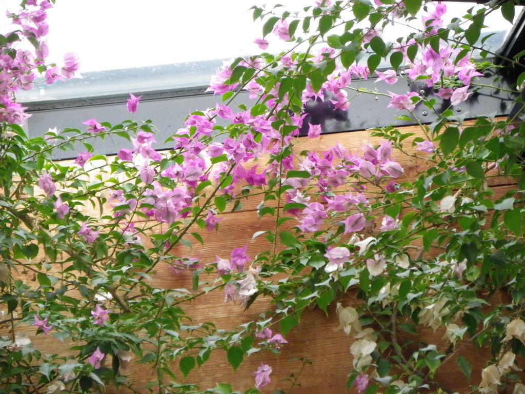 Bougainvillea glabra (Drillingsblume) gehört zur Familie der Wunderblumen
