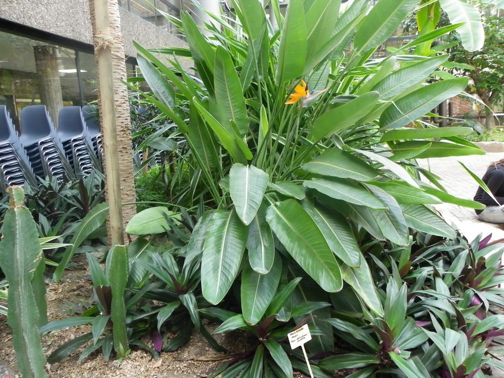 Paradiesvogelblume (Strelitzia reginae) Familie Musaceen