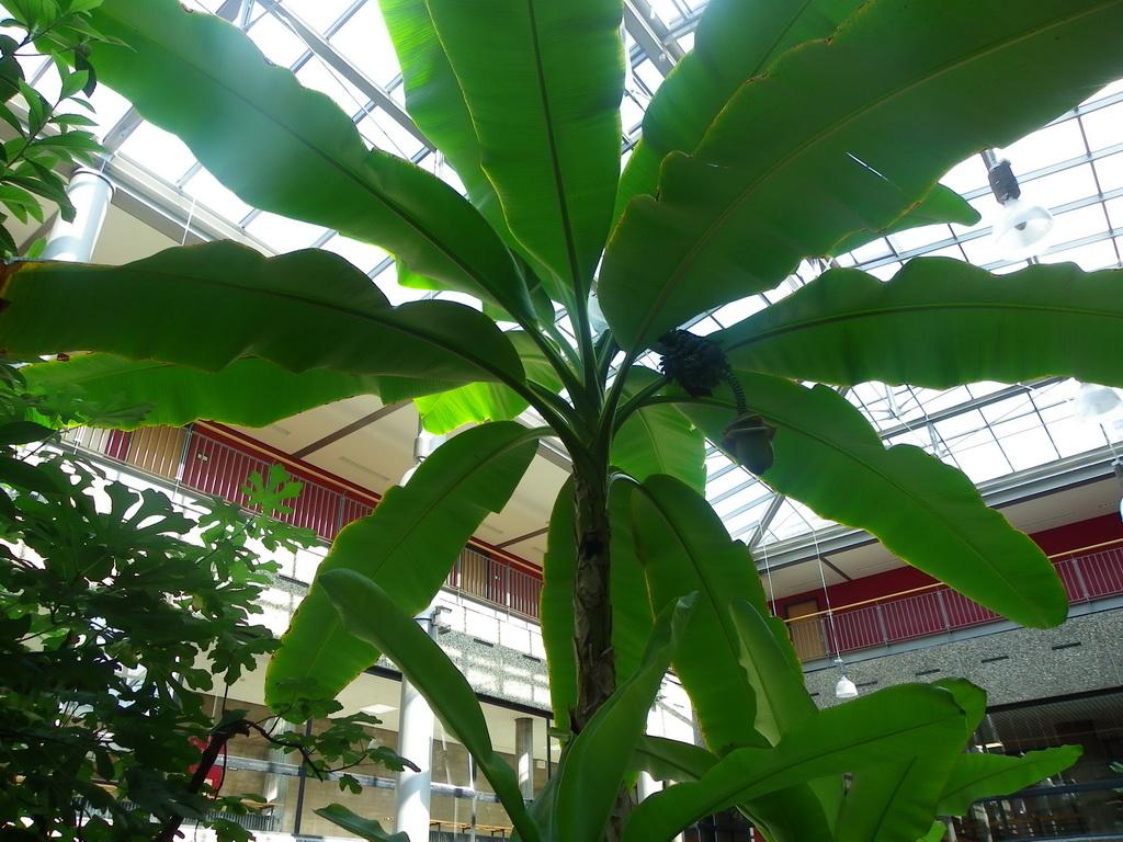 Faserbanane( Musa basjoo), aus der Familie der Bananengewächse