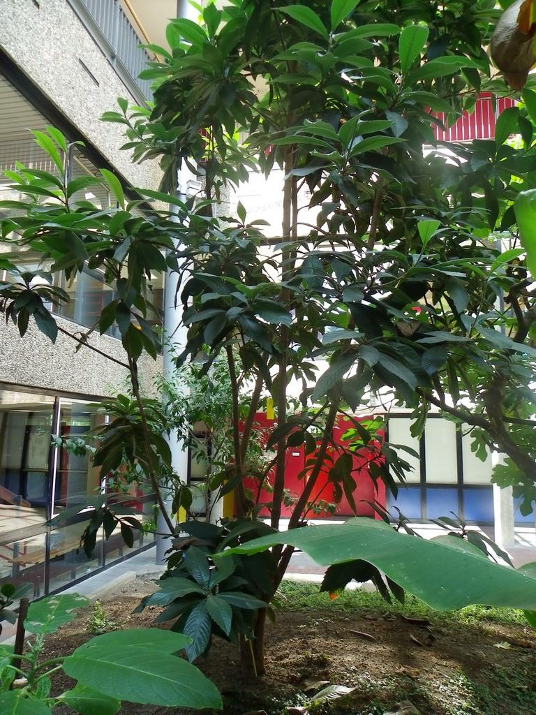 Wollmispel (Eriobotrya japonica) gehört in die Familie der Rosengewächse