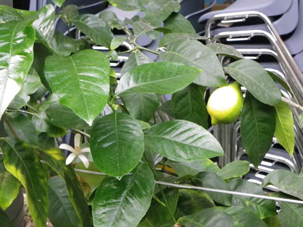 Zitrone (Citrus limon) aus der Familie der Zitrusgewächse